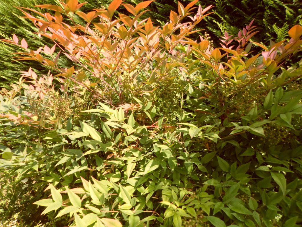 Fare Talee Di Oleandro elena lasagna » giardinaggio